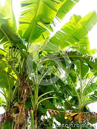 Free Banana Tree Organic Plantation Royalty Free Stock Images - 5221469