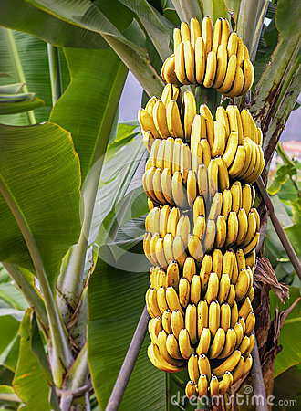 Free Banana Tree With A Bunch Of Ripe Bananas Stock Image - 66670181