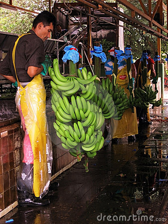 Banana Worker Processing Green Bananas Editorial Photography