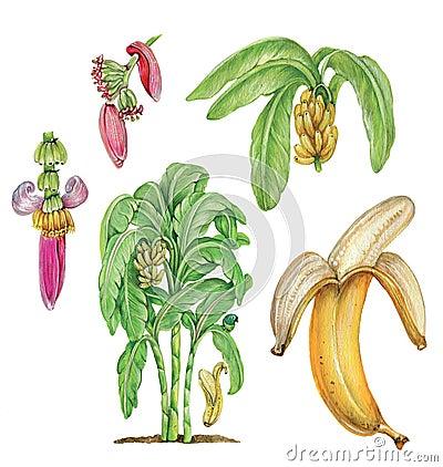 Free Bananas Stock Photos - 74848883