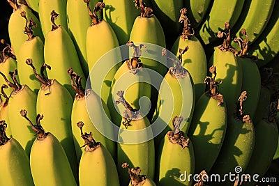 Bananas in close crop