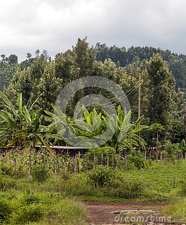Bananas and maize plantation