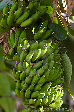 Bananas in nature