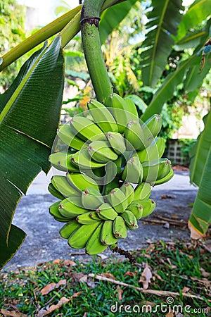 Free Bananas On Tree Stock Photo - 29343930
