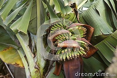 Bananas on the tree