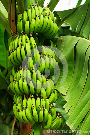 Free Bananas Tree Stock Photos - 27362443