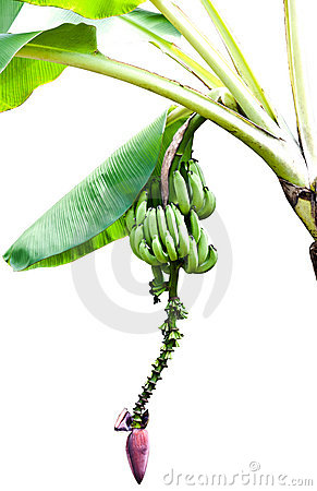 Bananas on tree with banana blossom
