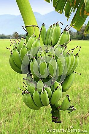 Banane verdi sull 39 albero fotografie stock immagine 15740173 for Albero di banane
