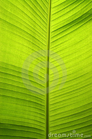 Free Bananna Leaf Royalty Free Stock Photo - 3559335