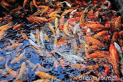 Banc de la natation de poisson rouge sous la surface de l for Achat poisson etang