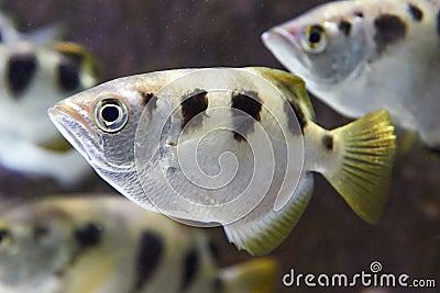 Banded Archerfish (Toxotes Jaculatrix) Stock Photo - Image: 38868248