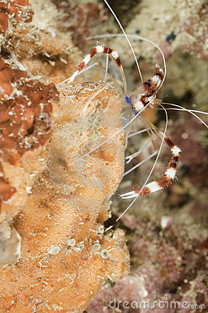 Free Banded Cleaner Shrimp Stock Photos - 13882823