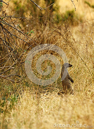 Free Banded Mongoose Stock Photography - 46966542