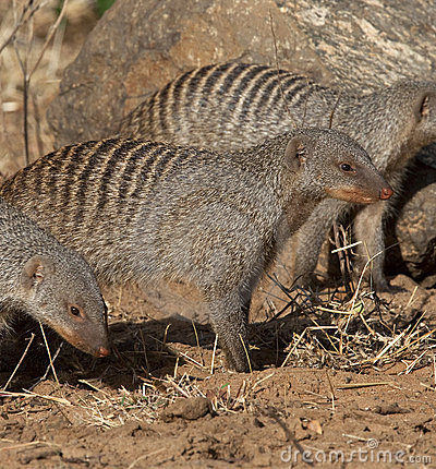 Banded Mongoose - Botswana.