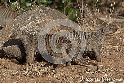 Banded Mongoose - Botswana