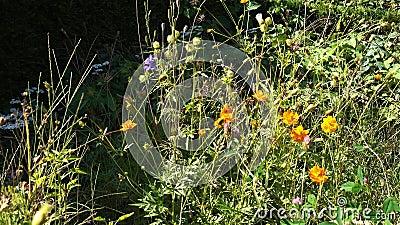 Bandeja sobre natural, beira amigável do wildflower da abelha no jardim da casa de campo vídeos de arquivo