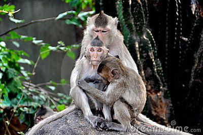 Bang Saen, Thailand: Grooming Monkeys