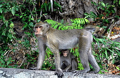 Bang Saen, Thailand: Mother monkey and baby