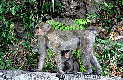 Bang Saen, Thailand: Mother monkey and baby