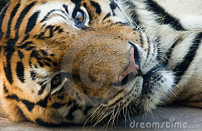 Bangal tiger in a zoo lie down and staring