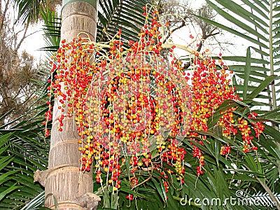 Bangalow Palm seeds