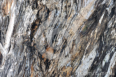 Banian tree trunk surface color and texture