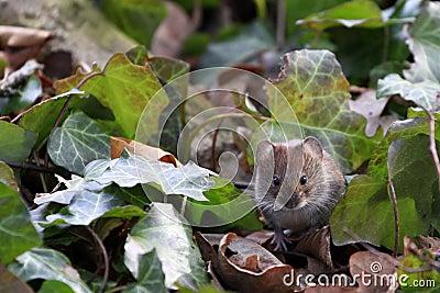 Bank vole / Myodes glareolus