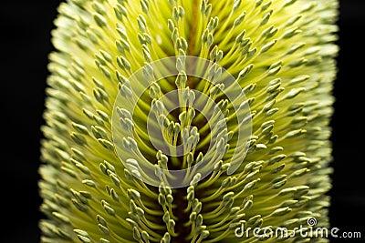 Banksia Flower Macro Black Background