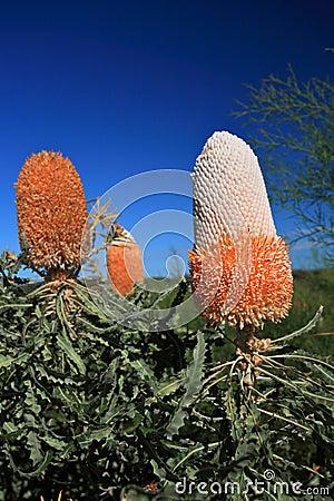 Banksia Flower,Wildflower, Western Australia