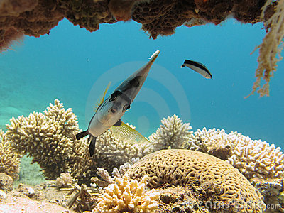 Bannerfish and cleaner wrasse in clear blue water