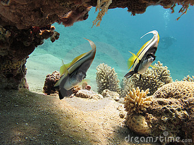 Bannerfish in a clear blue sea