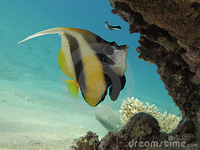 Bannerfish under a coral block in clear blue water