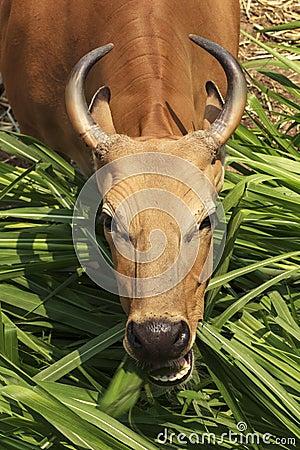 Free Banteng Royalty Free Stock Photography - 39645587