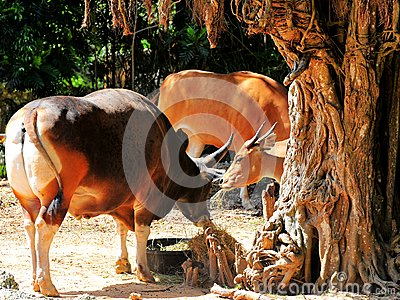 Banteng bull (left) and cow eating