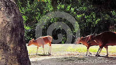 Banteng calf followed by two cows