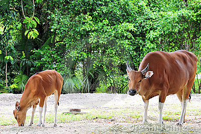 Banteng Cow & Calf