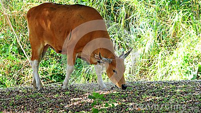 Banteng cow in zoo