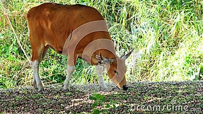 Banteng cow in zoo