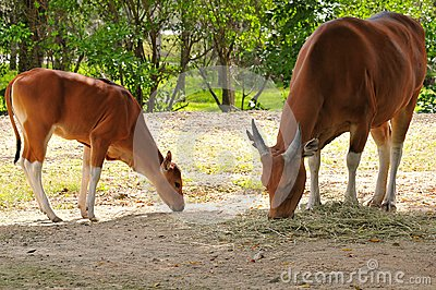 Banteng mother & calf