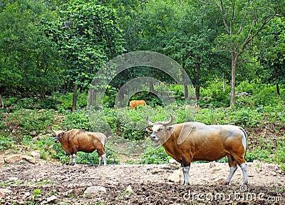 Banteng, red bull