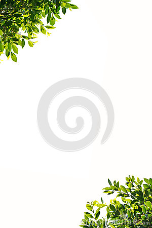 Free Banyan Green Leaves Isolated On White Background Stock Photo - 50630850
