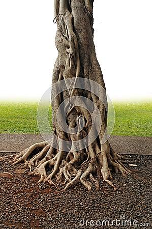 Free Banyan Tree Royalty Free Stock Photos - 18432278