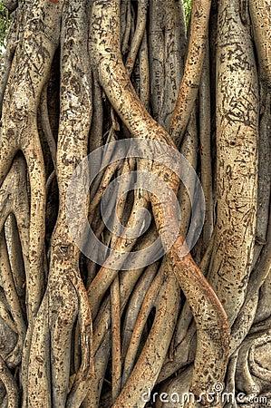 Free Banyan Tree Stock Images - 18773924