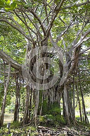 Free Banyan Tree Royalty Free Stock Image - 5969706