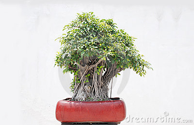 The banyan tree bonsai
