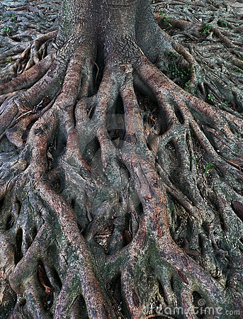 Free Banyan Tree Roots Over Earth Surface Royalty Free Stock Photos - 14970218