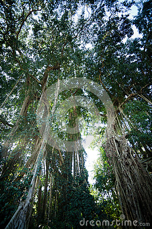 Banyan tree in tropical forest, Bali, Indonesia
