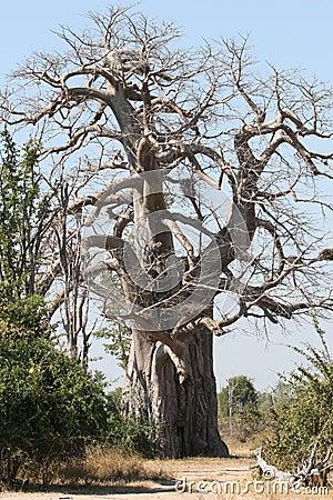 baobab baum lizenzfreie stockfotos bild 11998038. Black Bedroom Furniture Sets. Home Design Ideas