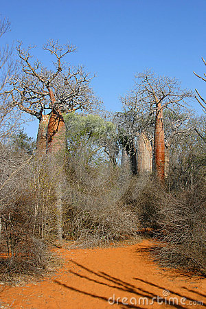 Baobab Lane Stock Photo - Image: 308710