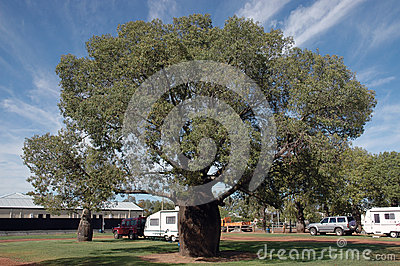 Baobab Tree. Editorial Stock Image